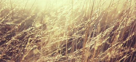 lovely-golden-grass