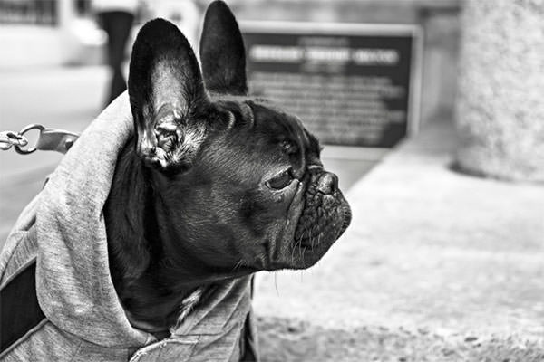 animal-black-and-white-bulldog-316-825x550