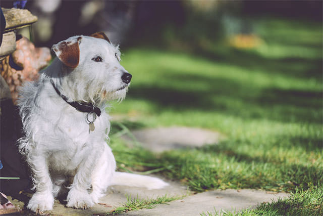 Cute-White-Dog-Sitting-In-A-Garden-With-Grass
