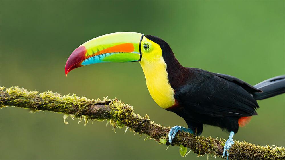 toucan-colorful-beak