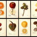 【パブリックドメイン】100年以上前の果物、フルーツの水彩イラスト7500枚を無料ダウンロードできるUSDA Pomological Wateroclors