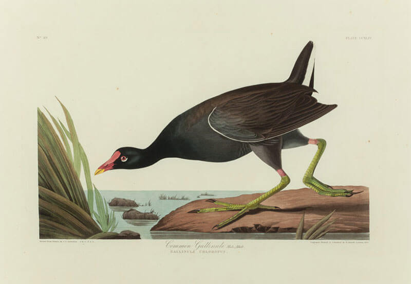 common_gallinule